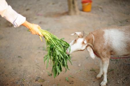 little white goat in thailand eating vegetable Stock Photo - 16875965