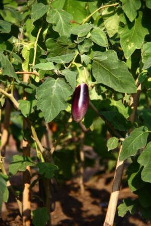 egg plant: Berenjenas - Terong Ungu