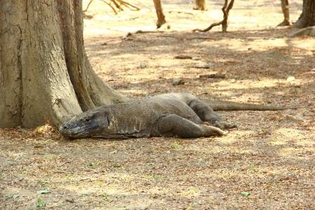 komodo: Komodo dragon - Pulau Komodo, Labuhan Bajo, Indonesia Archivio Fotografico