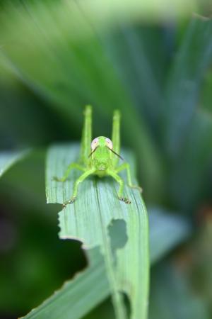 yogyakarta: Grasshopper - Yogyakarta