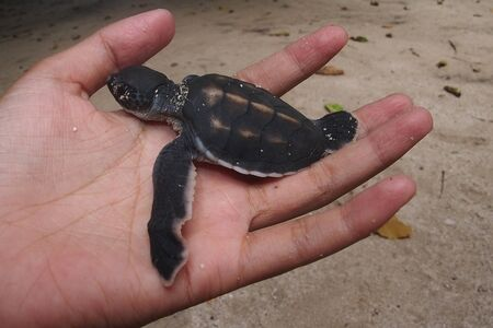 baby turtle: Give freedom to the baby turtle in Gili Trawangan - Indonesia Stock Photo