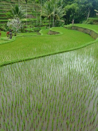 ubud: Rice terrace near Ubud