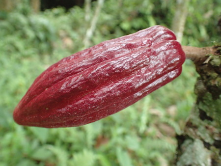 cacao: the cacao fruit