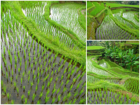 ubud: Indonesian rice field collage - Ubud, Bali