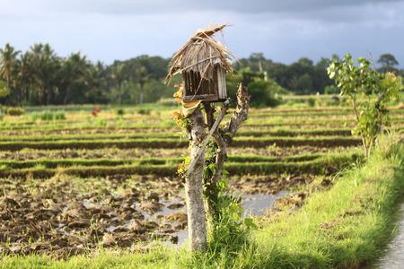 ubud: Rice field in Ubud - Bali Stock Photo