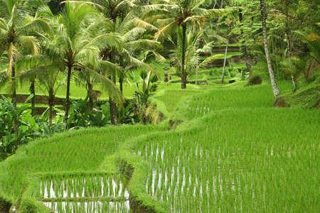 ubud: Tegalalang rice field in Ubud, Bali Stock Photo