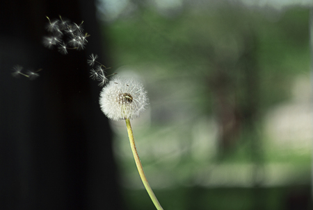 Dandelion on background