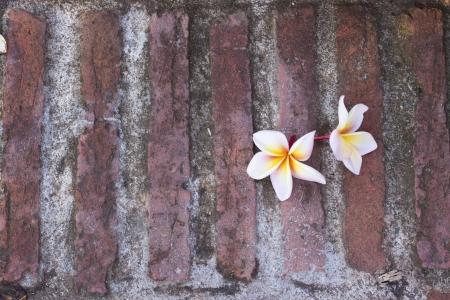 frangipani flower on brick photo