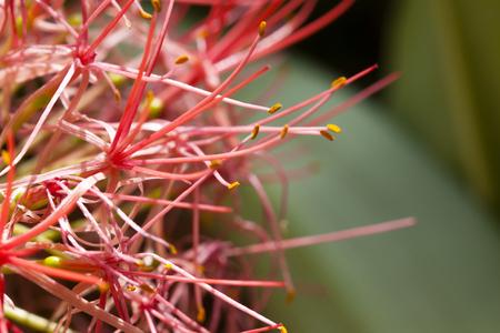 allium flower: allium flower