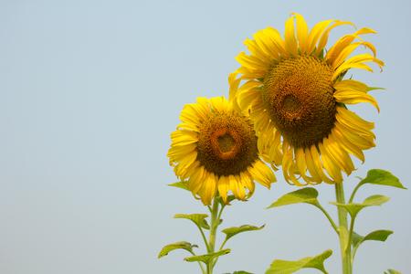 sanguine: sunflower