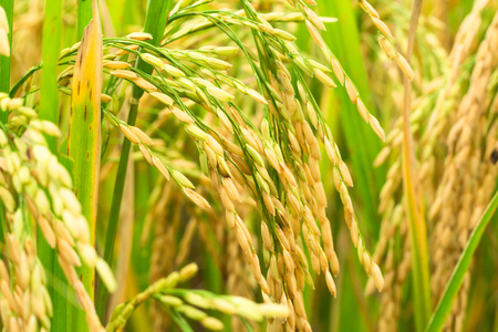 rice crop: rice field background
