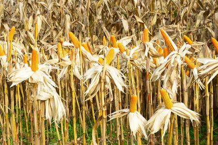 maize: maize field backgroun