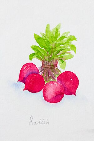 radish watercolor painted