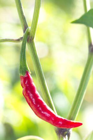 bush to grow up: red chili
