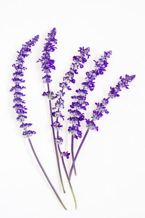 lavendel bloem op een witte achtergrond Stockfoto