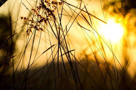 フィールドの浅い深さで日没のセレクティブ フォーカス中に芝生のフィールド 写真素材
