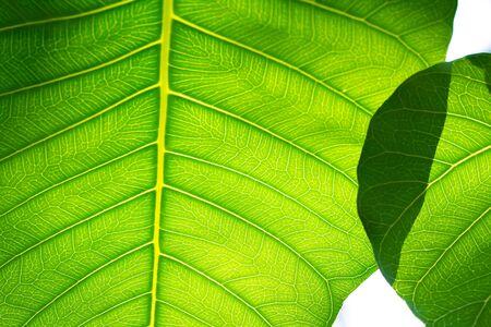 緑の葉のテクスチャ背景 写真素材