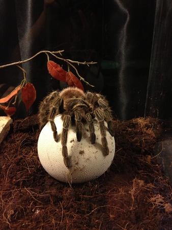 tarantula: Tarantula spider Stock Photo