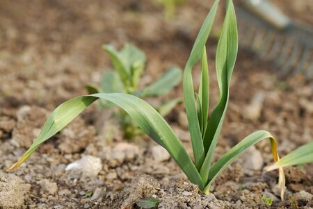 One young healthy garlic (Allium sativum) plant foliage.  Stock Photo
