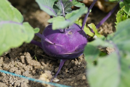 Kohlrabi (German turnip) (Brassica oleracea Gongylodes group)