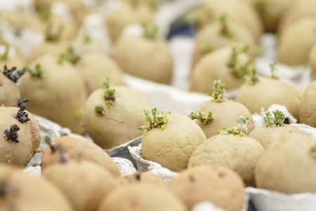 Six potatoes (swift) chitting in an egg carton. Short DOF, focus on 1st Potatoes. Chitting encorages the production of shoots ready for planting out on the allotment. Stock Photo