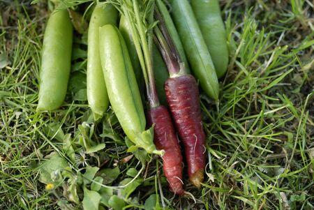 allotment: Bunch of Red Dragon (Daucus carota) carrots. Stock Photo