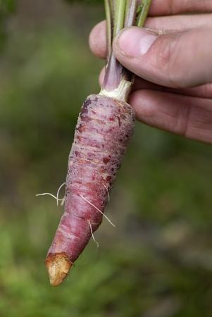 Femme � un allotissement une tenant une grappe r�cemment r�colt�es de Red Dragon (Daucus carota) de carottes ..