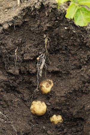First early potatoes (swift) and tubers shown as a cross section through earth. photo