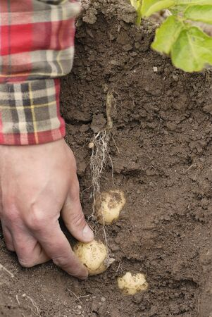 Farmer harvesting early potatoes direct from the ground by hand. Cross section of earth shown with potatoes in situ attached to tubers. photo