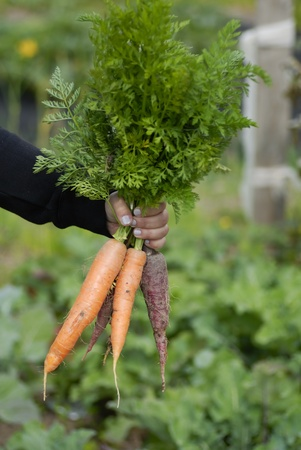 Woman at a an allotment holding a recently harvested bunch of carrots. Stock Photo