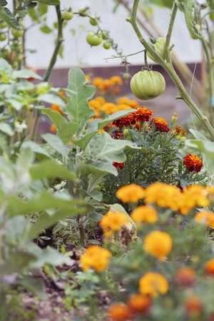 Companion planting of tomatoes & marigolds.