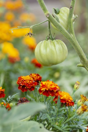 Companion planting of tomatoes & marigolds.