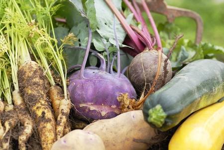 Collecte de l�gumes fra�chement r�colt�s � partir d'un lotissement. Kohl rabbin, betteraves, carottes jaunes, courgettes jaunes et vertes, et les pommes de terre Kestrel. Banque d'images