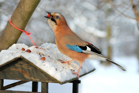 Winter shot of a Jay stealing nuts from a small bird feeder. Stock Photo