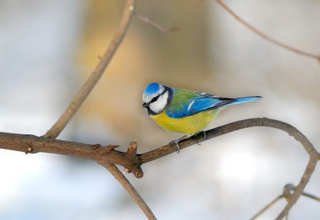 tit: Bluetit perched on a thin twig in a wintery scene. Stock Photo