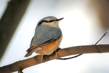 songster: The nuthatch is a plump bird about the size of a great tit that resembles a small woodpecker. It is blue-grey above and whitish below, with chestnut on its sides and under its tail. It has a black stripe on its head, a long black pointed bill, and short l