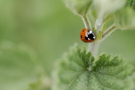 coccinellidae: Macro image of one ladybird climbing a nettle. Short DOF, focus on Beatle. Stock Photo