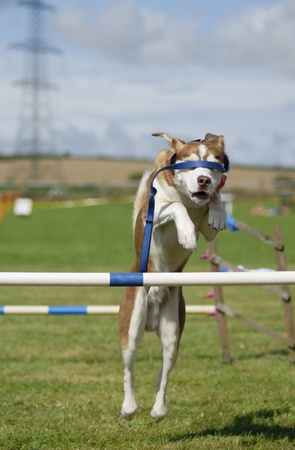 Husky-cross dog jumping an agility barrier with lead covering his eyes. Stock Photo - 10820262