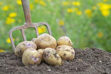 картофель: Куча свежесобранных органических картофель на делянке.