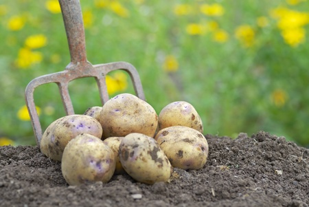 allotment: Pile of freshly harvested organic potatoes on an allotment. Stock Photo