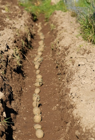 Seed potatoes being planted in a trench after chitting.