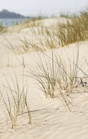 sawgrass: Sand dune scene. Daymer Bay, Cornwall, UK.