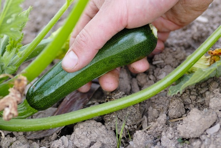 allotment: Hand grasping green courgette. Harvesting from an allotment. Stock Photo
