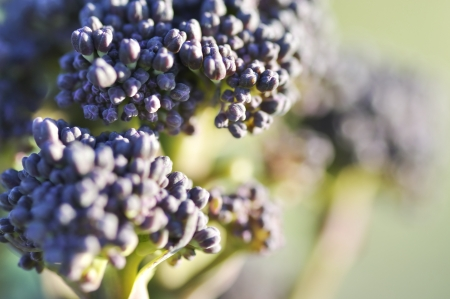 sprouting: Macro photograph of purple sprouting broccoli