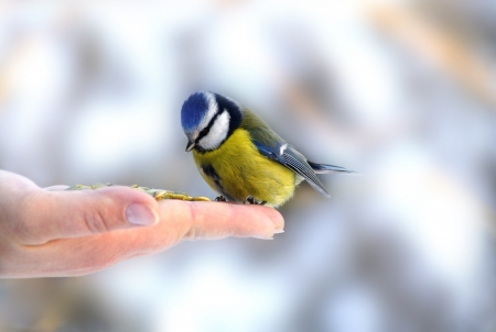 Bluetit perched on a girls hand in a wintery scene