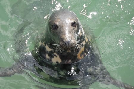 One Grey Seal looking. Located Newquay, Cornwall, UK. photo