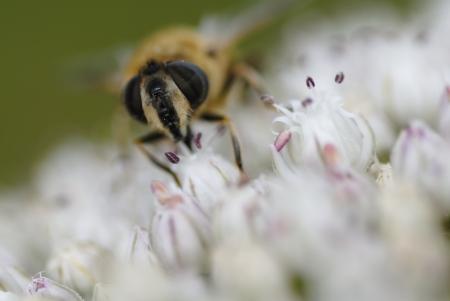 Macro photo of a bee gathering pollen on leek flower  photo
