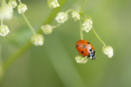 coccinellidae: Macro Photograph of a ladybird climbing over flowers.