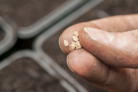 Hand holding tomato seeds ready to sow