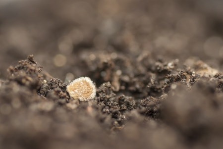 Macro detail of sowing a tomato seed in soil  photo
